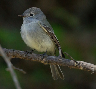 Hammond`s Flycatcher  Palomar Mt. 2014 04 06-6.CR2