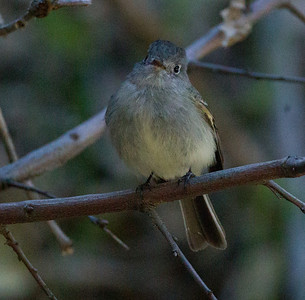 Hammond`s Flycatcher  Palomar Mt. 2014 04 06-1.CR2