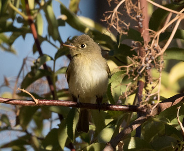 Pacific-slope Flycatcher Palomar Mt. 2016 09 16-1.CR2