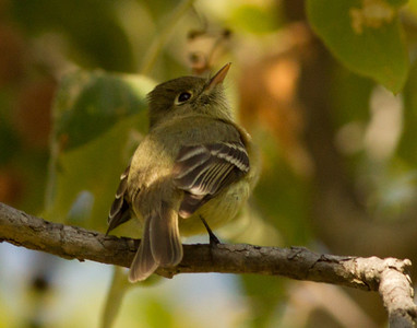 Pacific-slope Flycatcher  Sorrento Valley 2014 04 20-2.CR2