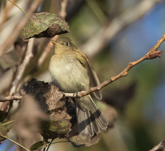 Pacific-slope Flycatcher Encinitas 2017 09 25-1.CR2