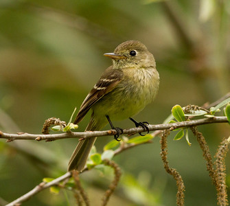 Pacific-slope Flycatcher  Encinitas 2012 04 20.CR2