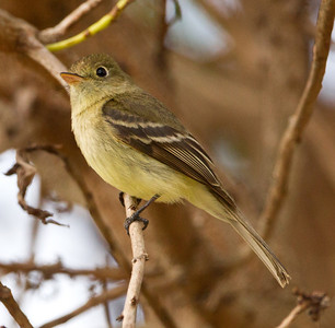 Pacific-slope Flycatcher  Aviara 2013 05 26 (1 of 4).CR2
