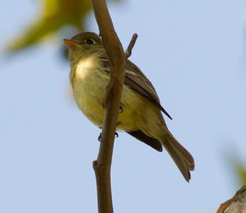 Pacific-slope Flycatcher  Sorrento Valley 2014 04 20-1.CR2