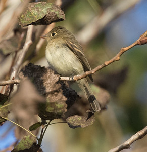 Pacific-slope Flycatcher Encinitas 2017 09 25-2.CR2