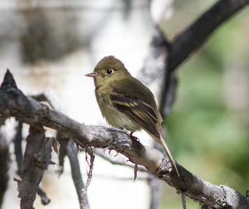 Western Flycatcher  Wild Rose Canyon 2014 08 23 (2 of 2).CR2