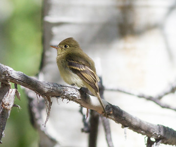 Western Flycatcher  Wild Rose Canyon 2014 08 23 (1 of 2).CR2