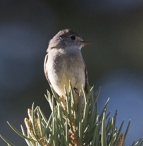 Willow Flycatcher  O`Harrel Canyon 2019 06 05-3.CR2