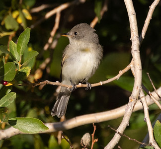 Willow Flycatcher Mammoth Lakes 2021 09 01 -1.CR3