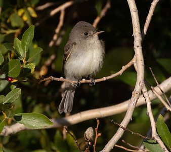 Willow Flycatcher Mammoth Lakes 2021 09 01 -2.CR3