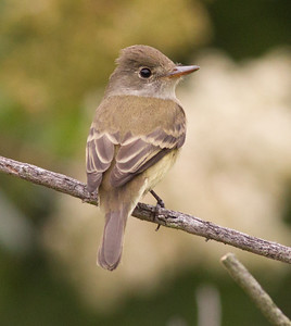 Willow flycatcher Carlsbad 2015 05 06-2.CR2