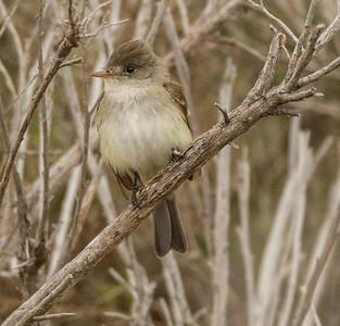 Willow flycatcher  Carlsbad 2014 05 24-7.CR2
