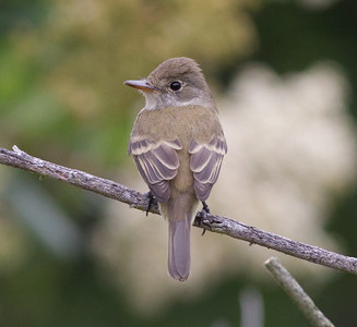 Willow flycatcher Carlsbad 2015 05 06-3.CR2