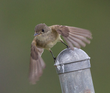 Willow flycatcher Santee Lakes 2015 05 24-4.CR2