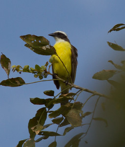 Great Kiskadee  Rancho Primavera  Jalisco Mexico 2013 03 15 (1 of 1).CR2