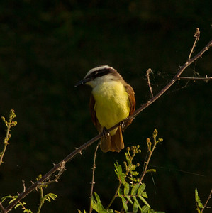Great Kiskadee South Texas 2012 03 20-2254.CR2