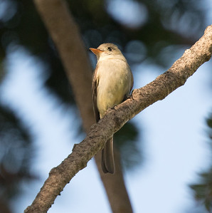 Greater Pewee Balboa Park 2018 02 22 (5 of 5).CR2