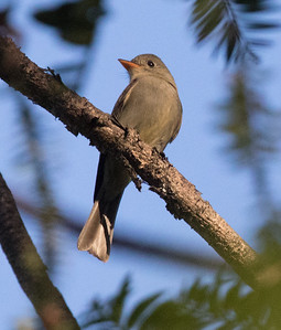Greater Pewee Balboa Park 2018 0202 (5 of 5).CR2