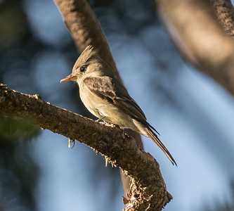 Greater Pewee Balboa Park 2018 02 22 (3 of 5).CR2