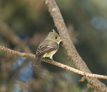Greater Pewee Balboa Park 2018 02 22 (1 of 5).CR2