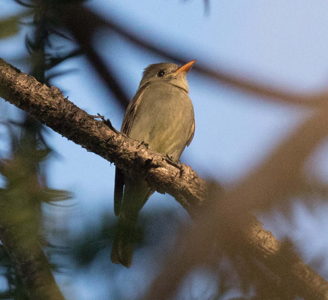 Greater Pewee Balboa Park 2018 0202 (3 of 5).CR2