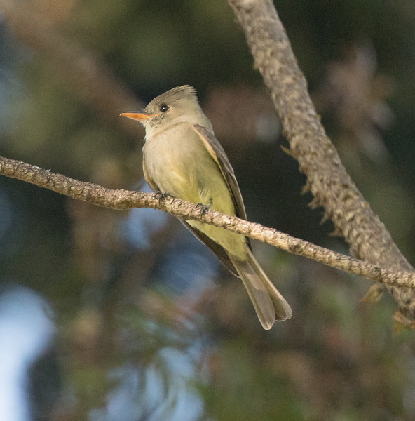 Greater Pewee Balboa Park 2018 02 22 (2 of 5).CR2