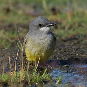 Cassin`s Kingbird  Aviara 2013 08 21 (6 of 7).CR2