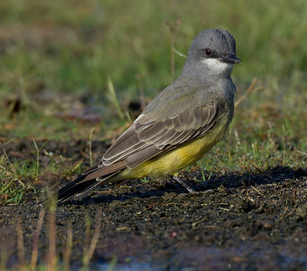 Cassin`s Kingbird  Aviara 2013 08 21 (4 of 7).CR2