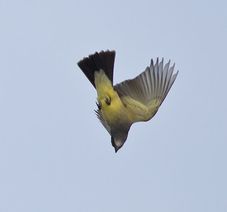 Cassin's Kingbird Tyrannus vociferans
