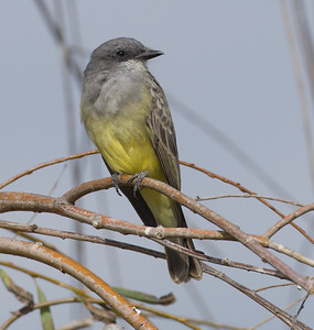 Cassin`s Kingbird Bonsall 2014 11 13-3.CR2
