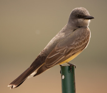 Cassin`s Kingbird  Camp  Pendleton California