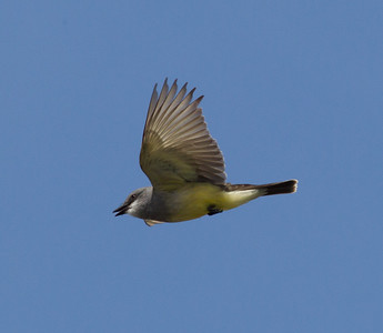 Cassin`s Kingbird Encinitas 2012 04 06-1.CR2