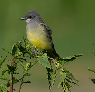 Cassin`s Kingbird  Aviara 2013 08 21 (2 of 7).CR2