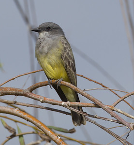 Cassin`s Kingbird Bonsall 2014 11 13-2.CR2