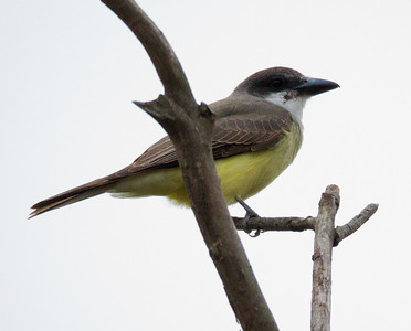 Thick-billed Kingbird San Dieguito River Del Mar 2012 12 25 (3 of 11).CR2