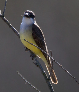 Thick-billed Kingbird  San Dieguito Riover 2012 12 31 (2 of 4).CR2