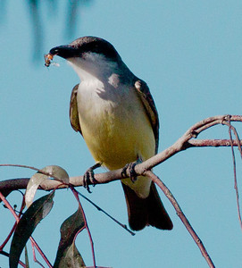 Thick-billed Kingbird  San Dieguito River 2013 01 08 (1 of 2).CR2