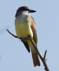 Thick-billed Kingbird   San Dieguito 2013 01 29 (2 of 3).CR2