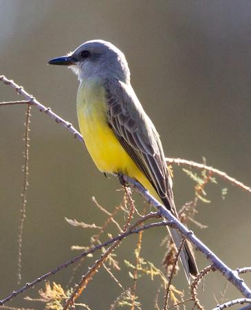 Tropical  Kingbird  San Dieguito River 2012 12 31 (4 of 10).CR2