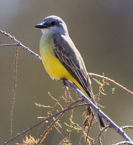 Tropical  Kingbird  San Dieguito River 2012 12 31 (3 of 10).CR2