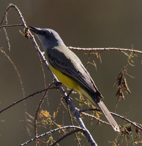 Tropical  Kingbird  San Dieguito River 2012 12 31 (7 of 10).CR2
