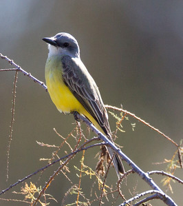 Tropical  Kingbird  San Dieguito River 2012 12 31 (2 of 10).CR2