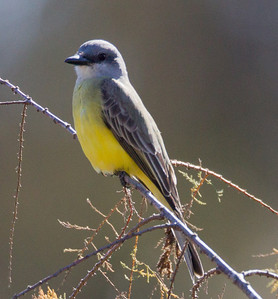 Tropical  Kingbird  San Dieguito River 2012 12 31 (1 of 10).CR2