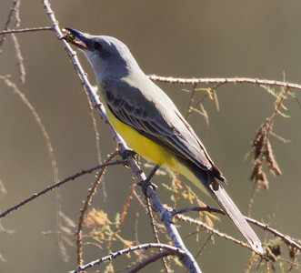 Tropical  Kingbird  San Dieguito River 2012 12 31 (8 of 10).CR2