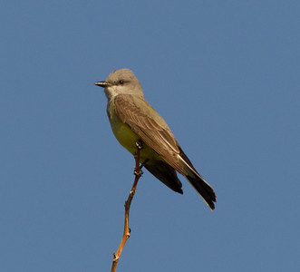 Western Kingbird  Coso Junction 2014 04 21-3.CR2