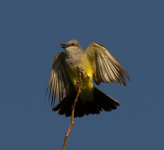 Western Kingbird  Coso Junction 2014 04 21-1.CR2