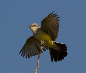 Western Kingbird  Coso Junction 2014 04 21-2.CR2