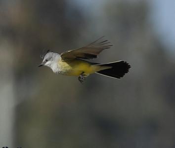 Western Kingbird  Del Mar 2021 04 05-216.CR3