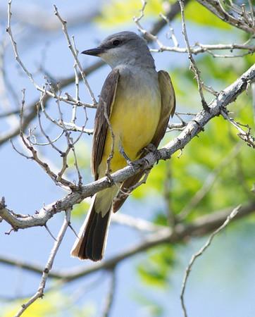 Western Kingbird  Lone Pine  2012 05 20 (1 of 1).CR2