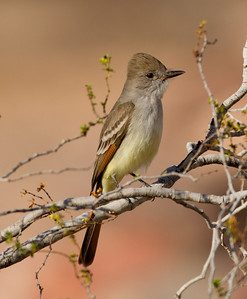 Ash-throated Flycatcher   Cibola NWR 2014 02 01-3.CR2
